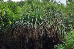 Hala-fruit-Plant-growing-wild