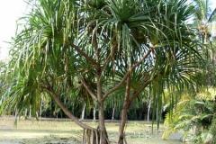 Hala-fruit-Plant