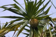Immature-Hala-fruit-on-the-plant