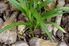 Small-Hala-fruit-plant