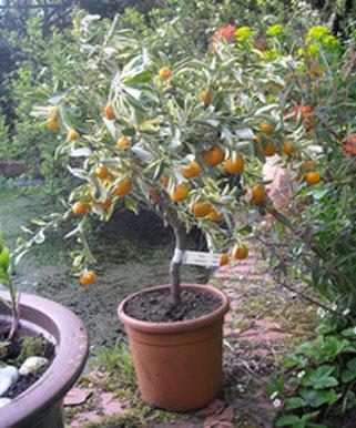 Hardy-orange-grown-on-pot