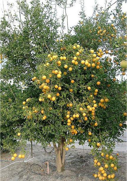 Hardy-orange-tree