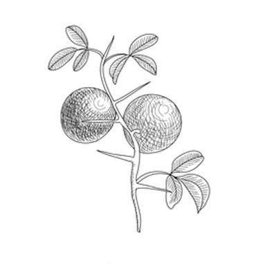 Sketch-of-Hardy-orange
