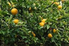 Hardy-orange-Fruits-on-the-tree