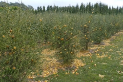 Hardy-orange-farming