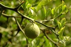 Immature-fruit-of-Hardy-orange
