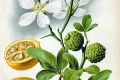 Plant-Illustration-of-Hardy-orange