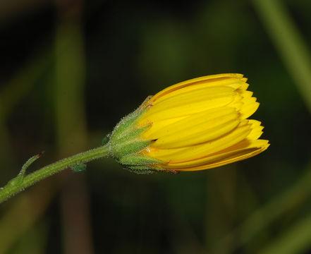 Flowering-Bud-of-Hawkweed