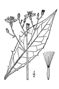 Sketch-of-Hawkweed-plant
