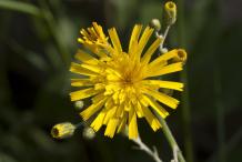 Hawkweed-Flower