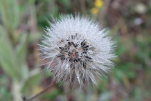 Mature-seed-head-of-Hawkweed