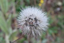Mature-seed-head-of-Hawkweed