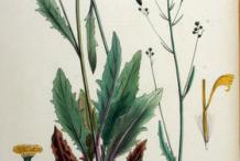 Plant-Illustration-of-Hawkweed