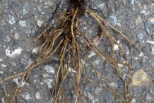 Root-of-Hawkweed-plant