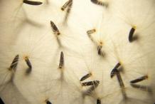 Seeds-of-Hawkweed