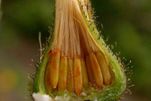 Unmature-seed-head-of-Hawkweed