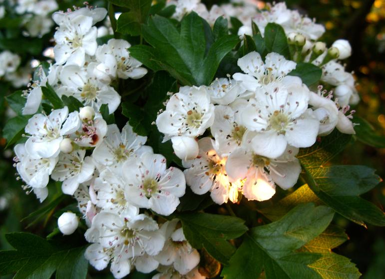 Flower-of-Hawthorn-berry