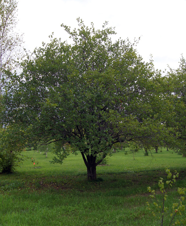 Hawthorn-berry-tree