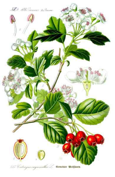 Illustration-of-Hawthorn-berry