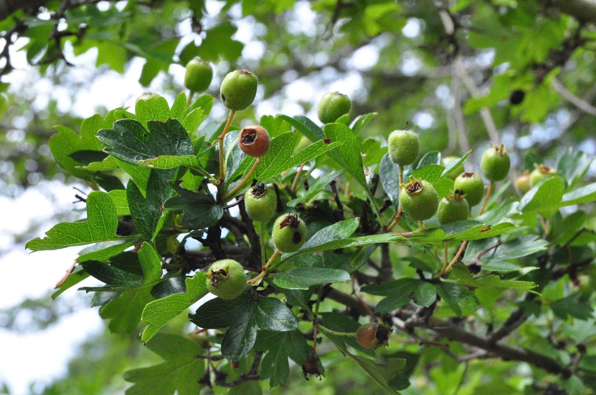 Hawthorn: useful properties and contraindications. Hawthorn: medicinal properties, recipes for use 7