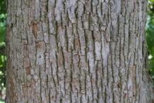 Hawthorn-bark