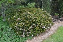Hawthorn-bush