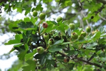 Unripe-fruit-of-Hawthorn