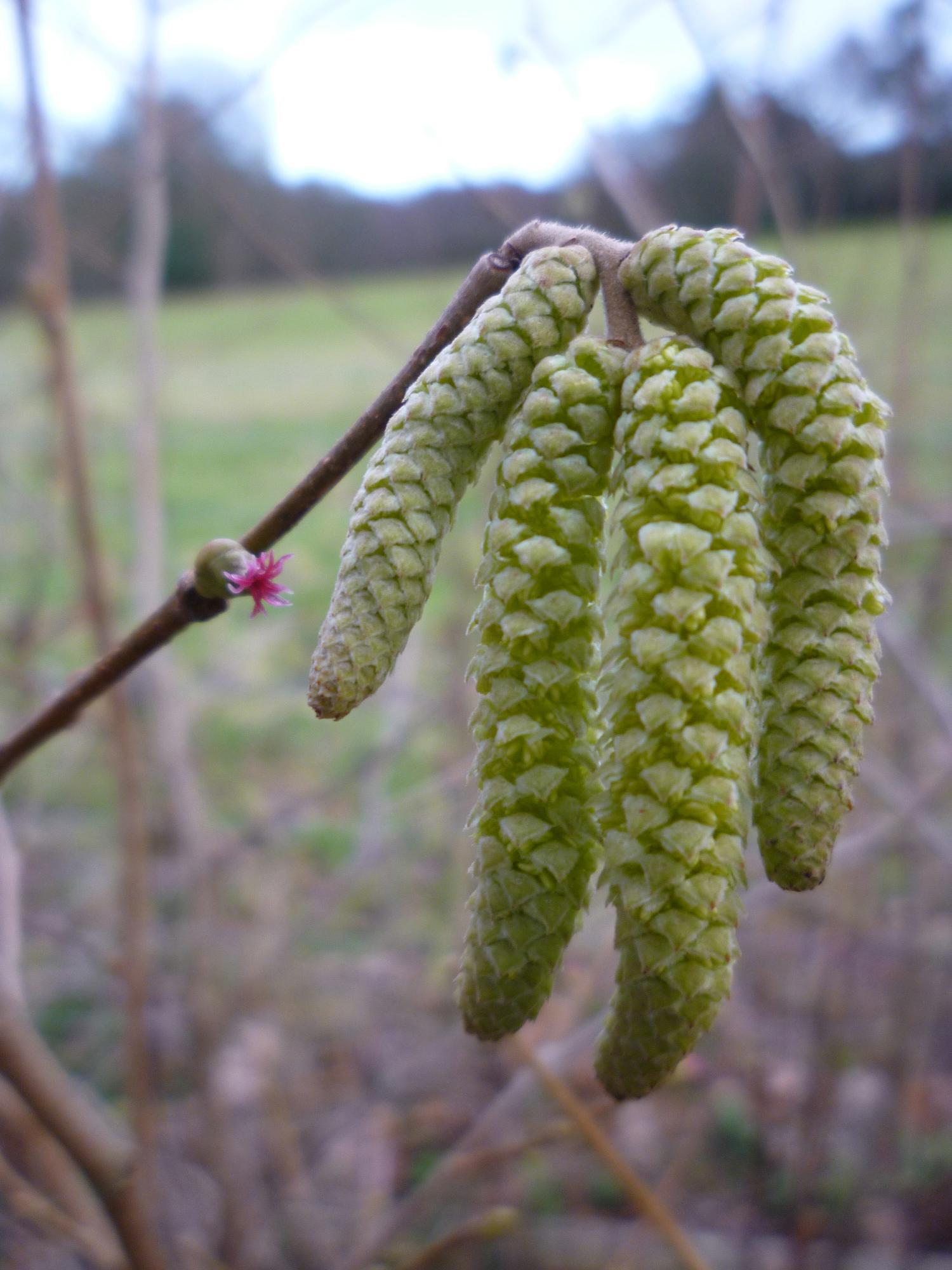 Close-up-flower-of-Hazelnuts