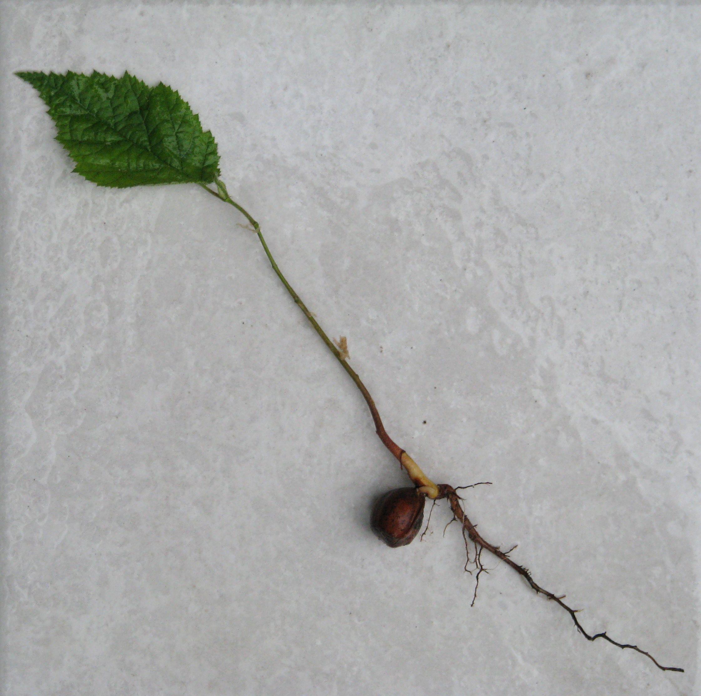 Hazelnuts-plant