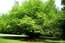 Hazelnuts-tree