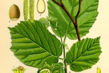 Plant-illustration-of-Hazelnuts