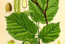 Plant-illustration-of-Hazelnuts