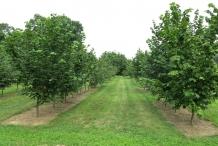 Hazelnuts-farm