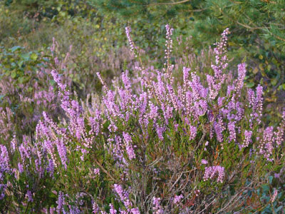Heather-plant-growing-wild