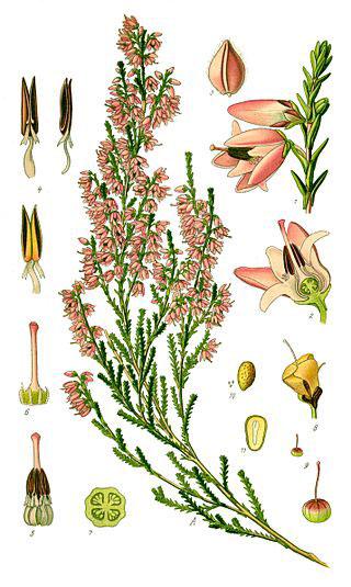 Plant-Illustration-of-Heather