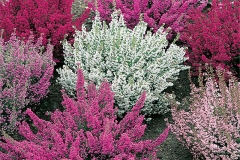 Different-varieties-of-Heather