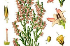 Plant-Illustration-of-Heather