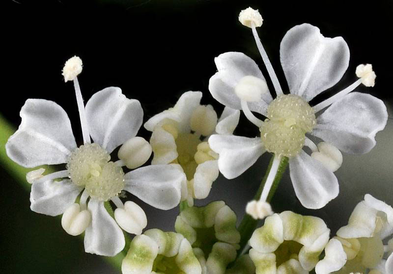 Closer-view-of-flower-of-Hemlock