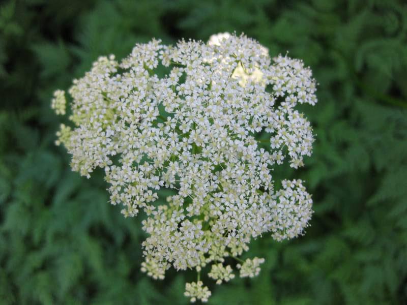 Flowers-of-Hemlock