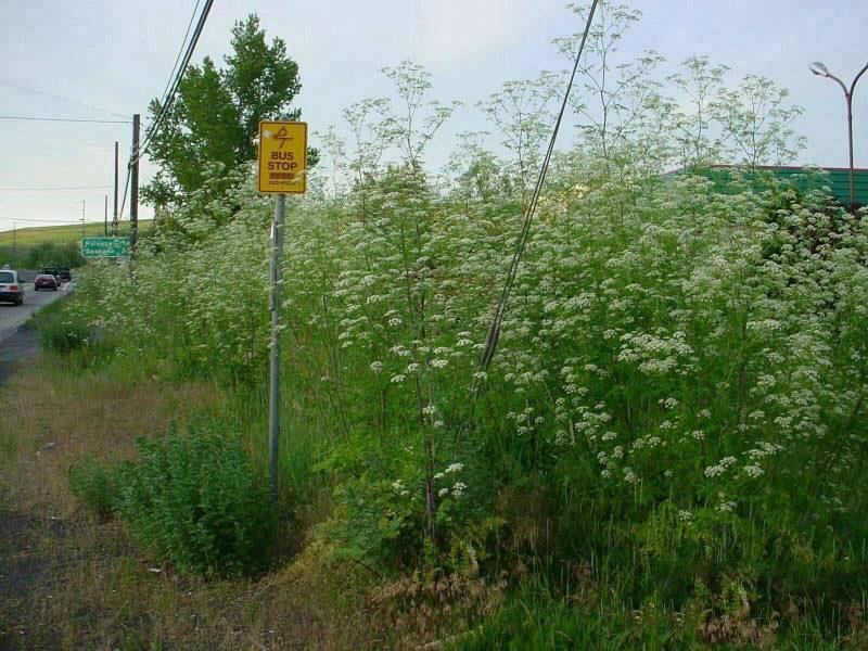 Hemlock-Plant-growing-wild