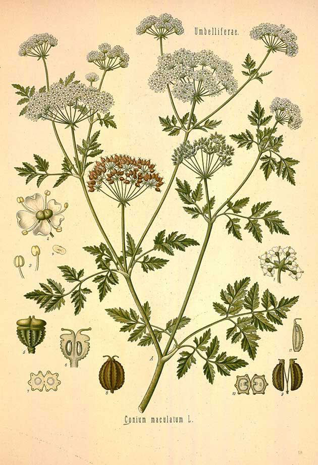 Plant-illustration-of-Hemlock