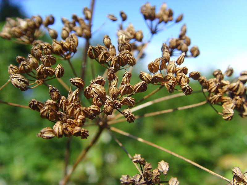 Seeds-heads-of-Hemlock