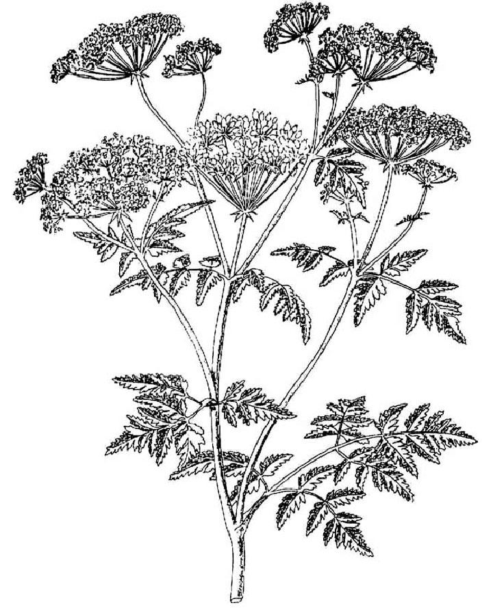 Sketch-of-Hemlock