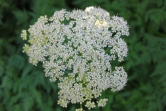 Flowers-of-Hemlock