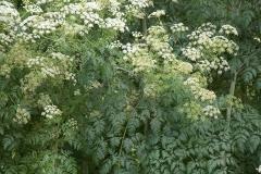 Hemlock-plant
