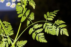 Leaves-of-Hemlock