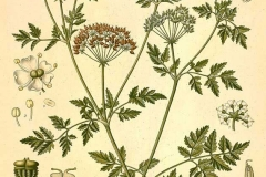 Plant-illustration-of-Hemlock