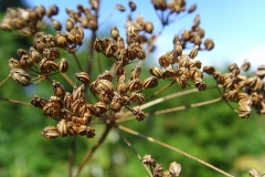 Seeds-heads-of-Hemlock