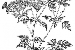 Sketch-of-Hemlock