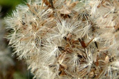 Feathery-fruit-Pappus-of-Hemp-Agrimony